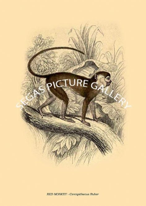 Fine art print of the RED MONKEY - Cercopithecus Ruber by William Lizars